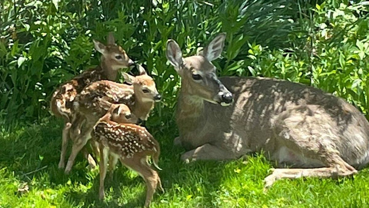 White-tailed deer fawns are born across Wisconsin this spring