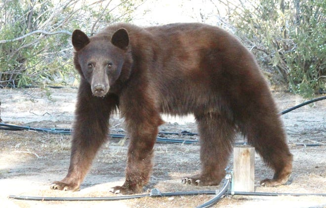 A bear believed to be a California black bear is seen in Kern County resident Jon Wheeler's yard on Saturday, May 15, 2021. The bear later wandered over to the Walmart Supercenter area in Ridgecrest before being captured.