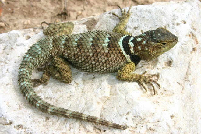 Blue spiny lizard