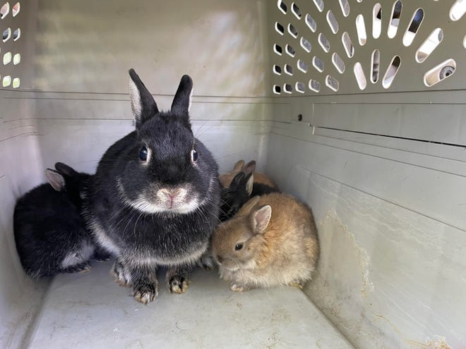 Rabbits in carrier after rescue at Smith Park