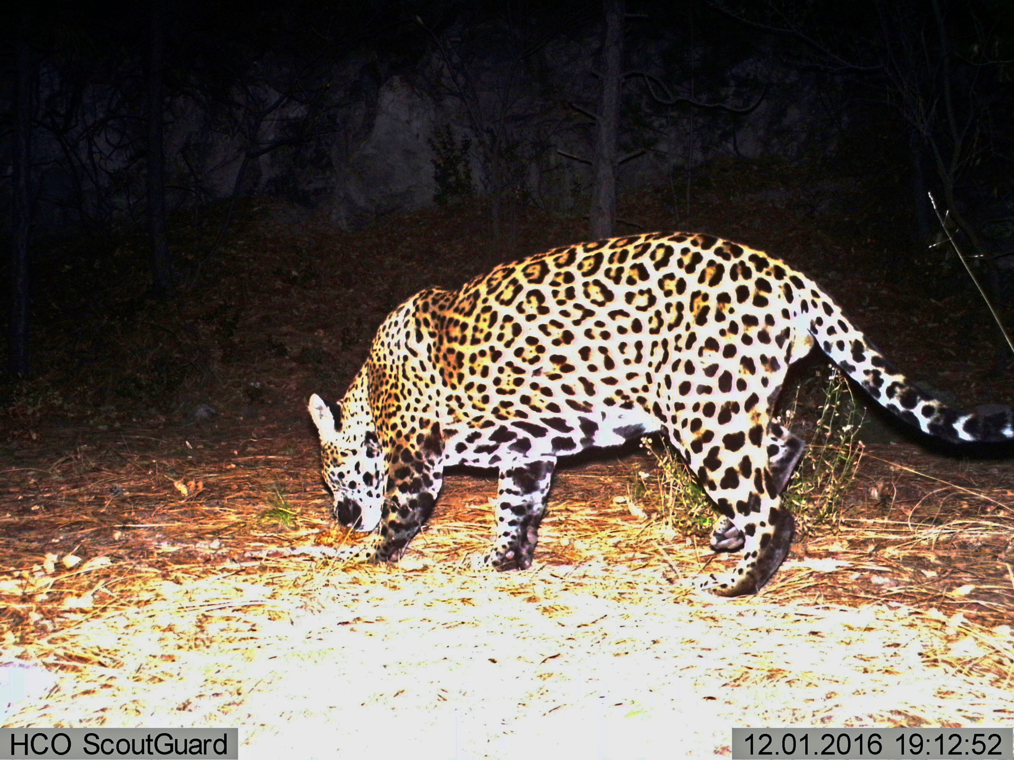Groups call for reintroducing jaguars in US Southwest 2