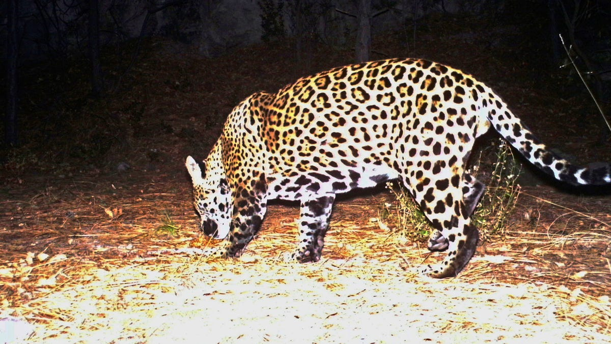Groups call for reintroducing jaguars in US Southwest 3