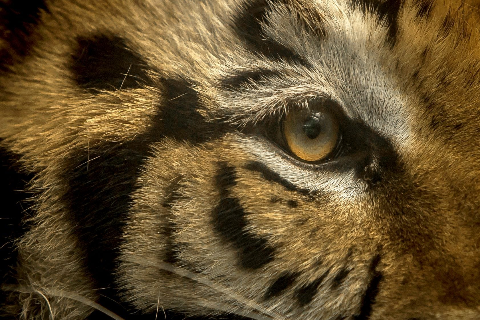 Houston s elusive tiger named India found safe, headed for sanctuary