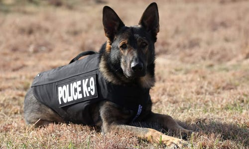 """Butler community college police dog Haxo is awarded""""Healthcare for K9 Heroes"""" medical insurance plan by nonprofit organization Vested Interest in K9s."""