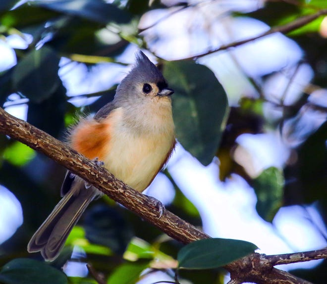 A tufted titmouse. Photo courtesy of Mitch Walters, Florida Museum of Natural History