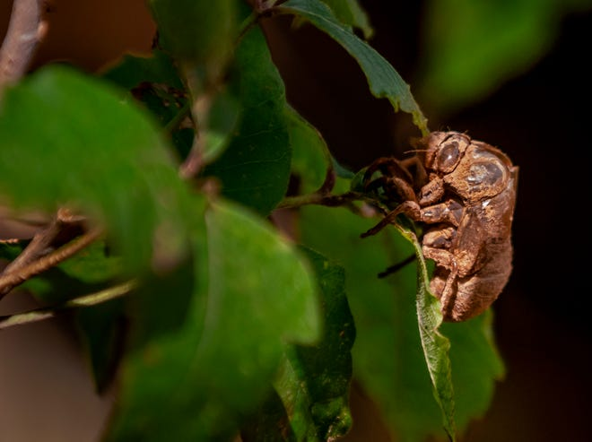 A cicada shell sits on a leaf. Be on the lookout for these discarded husks left behind by the insect molting and becoming an adult cicada.