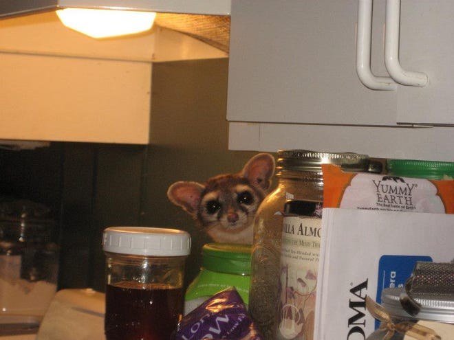 A clever ringtail pays a surprise visit to Ranger Pine's kitchen in Beulah, Colorado