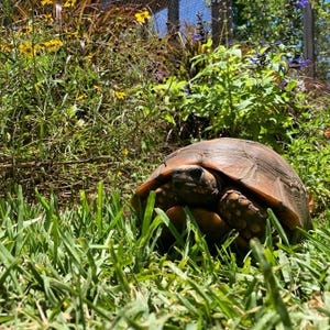 Calypso the tortoise, who went missing from Riverland Nursery in Fort Myers Shores months ago, has been returned.