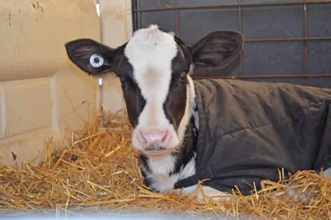 Eubiotics support calf gut health and immunity, for healthier, faster-growing calves ready to perform in the lactating herd.