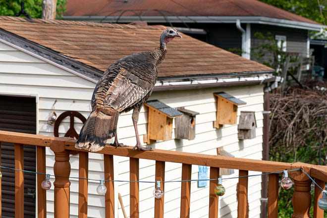 A wild turkey makes itself at home in the backyard of Steve Apps' home on the north side of Madison.
