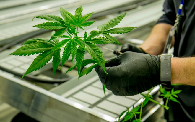 A technician at Texas Original Compassionate Cultivation, one of three companies licensed in Texas to produce medical marijuana, works in a cannabis grow room at its Manchaca facility in 2018. A bill that remains alive in the Legislature would expand the state's medical marijuana program.