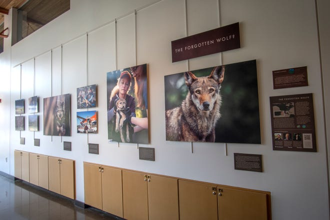 """""""The Forgotten Wolf?"""" section of """"Conservation Through a Lens,"""" photos by Justin Grubb on display at the Grange Insurance Audubon Center"""