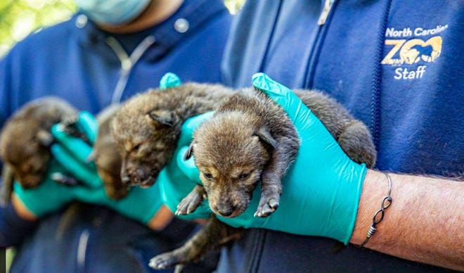 North Carolina Zoo is proud to increase its breeding program of these endangered species.