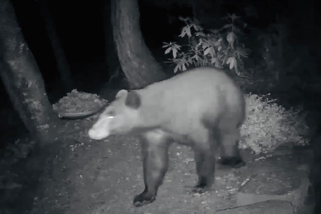 A screenshot from video shows a black bear in south Eugene in 2020.