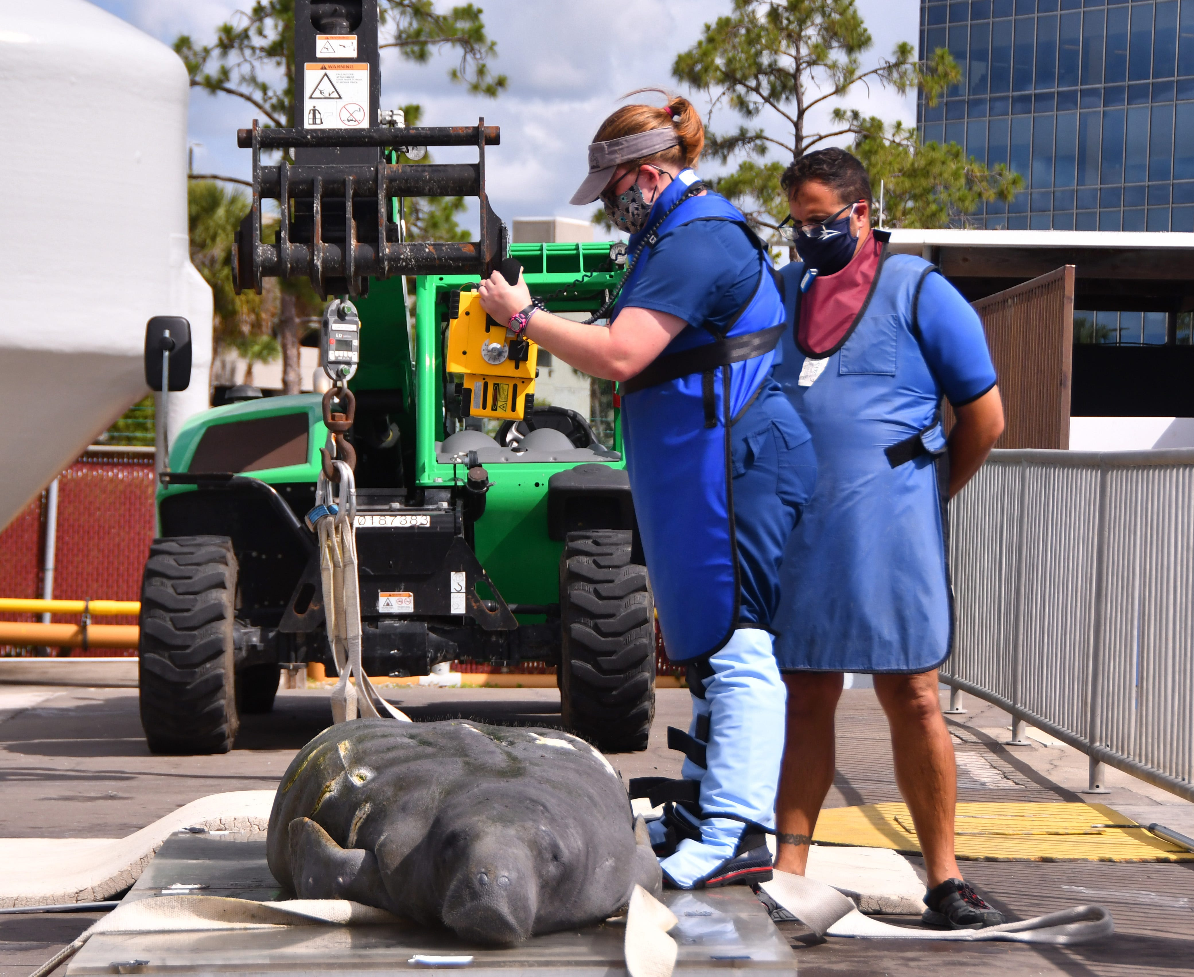 Certified vet technician Stephanie Smith takes an X-ray of a sick, malnourished manatee with a blockage. The manatee was tube fed barium, then X-rayed.