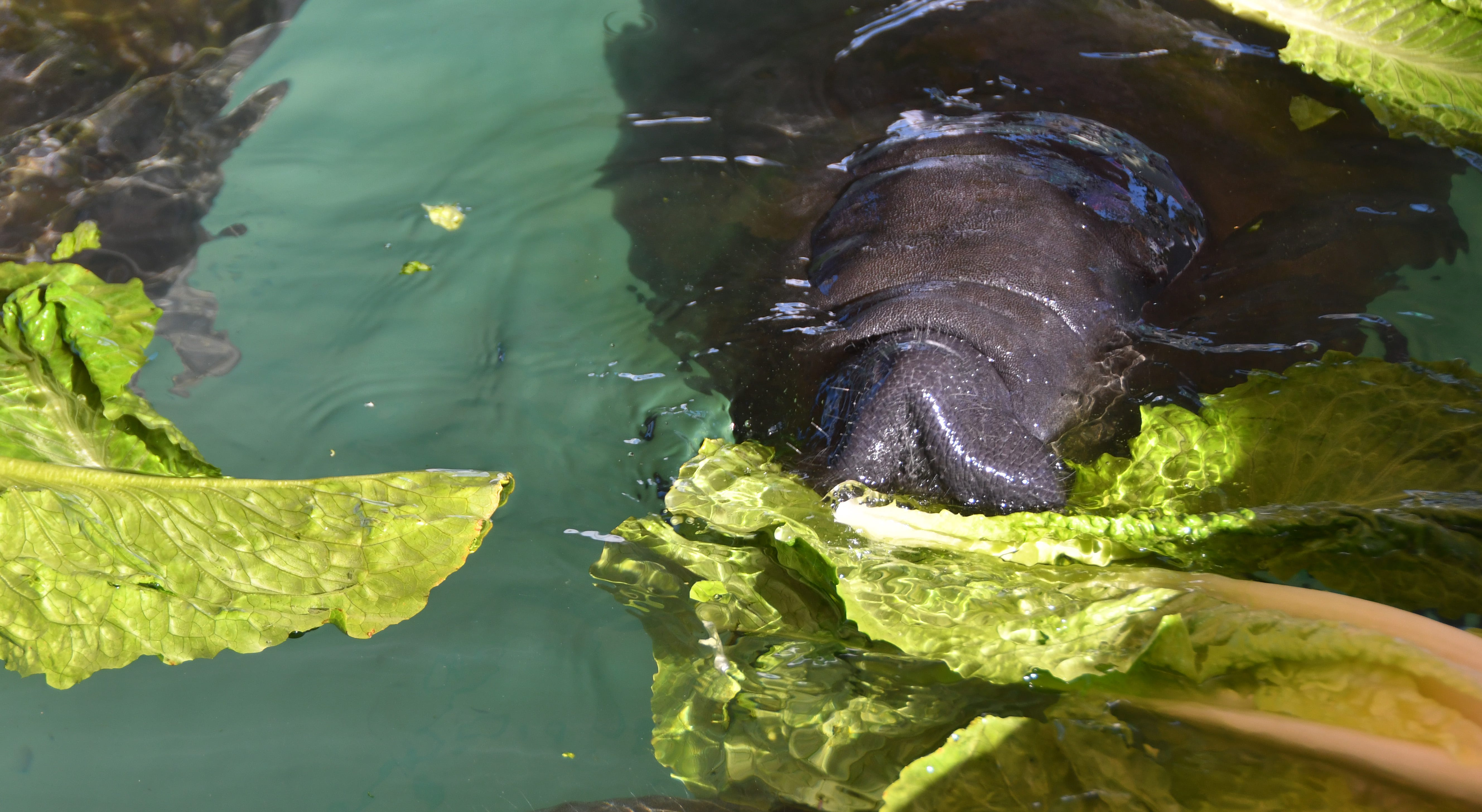 Recuperating juvenile manatees feast on romaine lettuce. SeaWorld goes through 275 cases (24 heads per case) of romaine lettuce a week.