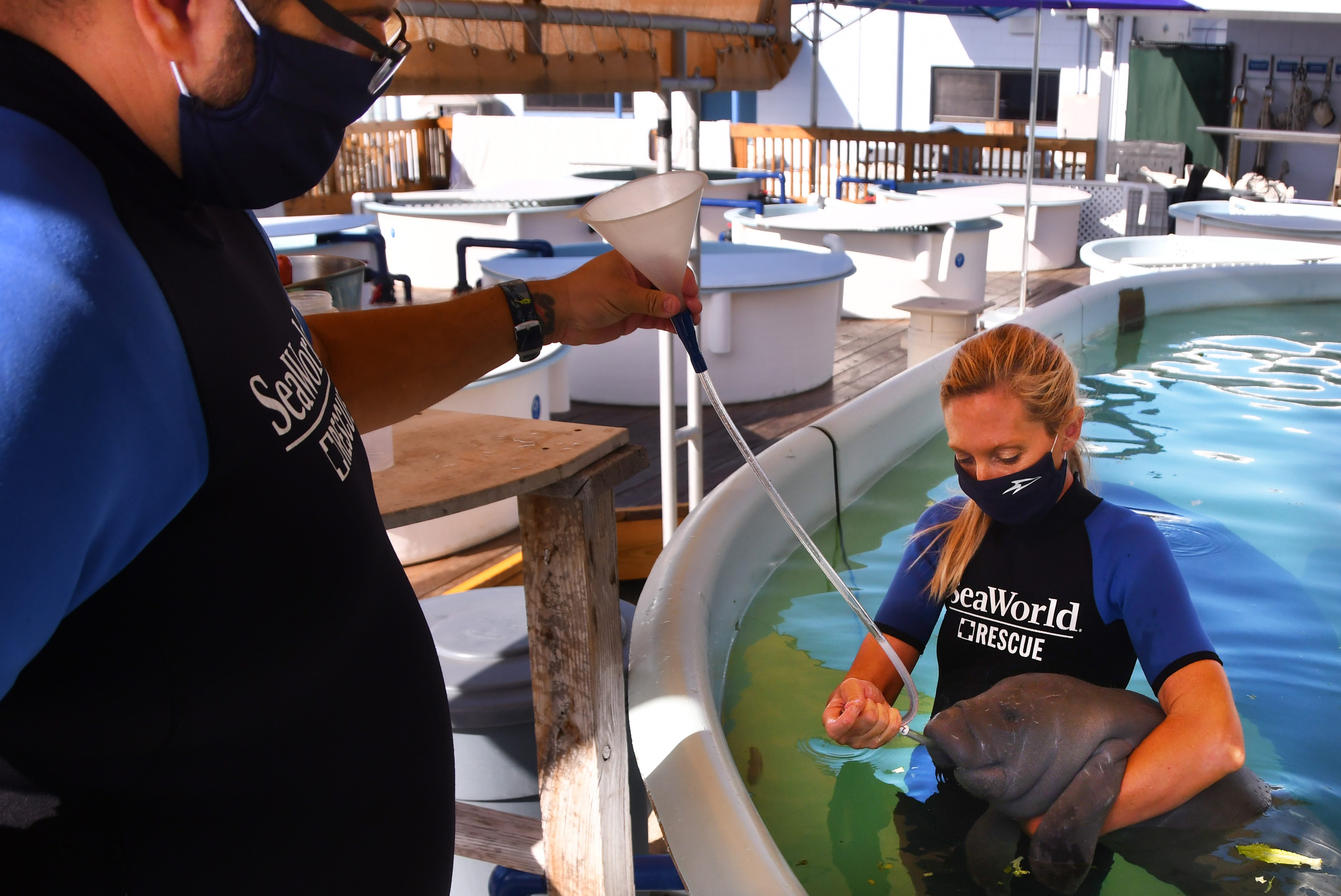 Senior Animal Care Specialists Nik Ricci and  Kelly Cluckey tube feed a young manatee. SeaWorld in Orlando is presently treating sick 30 manatees in varying degrees of health.