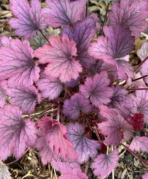 """This foliage on """"Granite Rose"""" reveals strong dark veins in the leaves. This is one of the features that brings endearment with heucheras."""