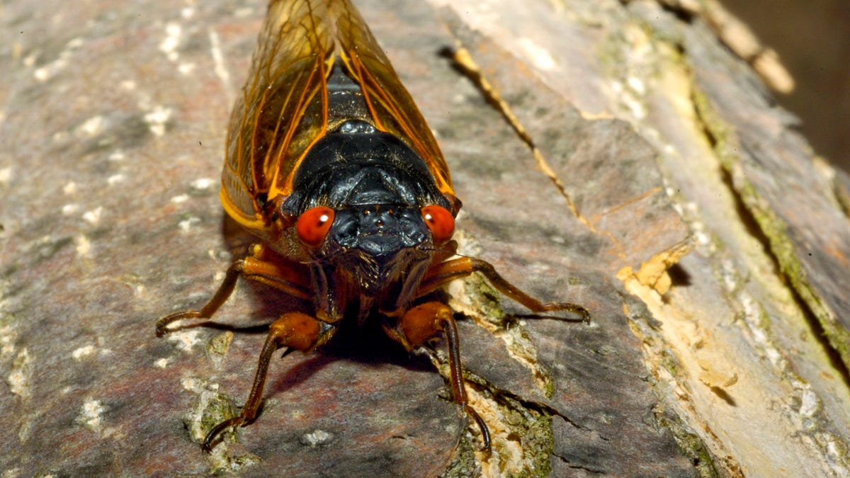 Cicadas on the menu as anticipation of Brood X arrival has some foodies buzzing 1