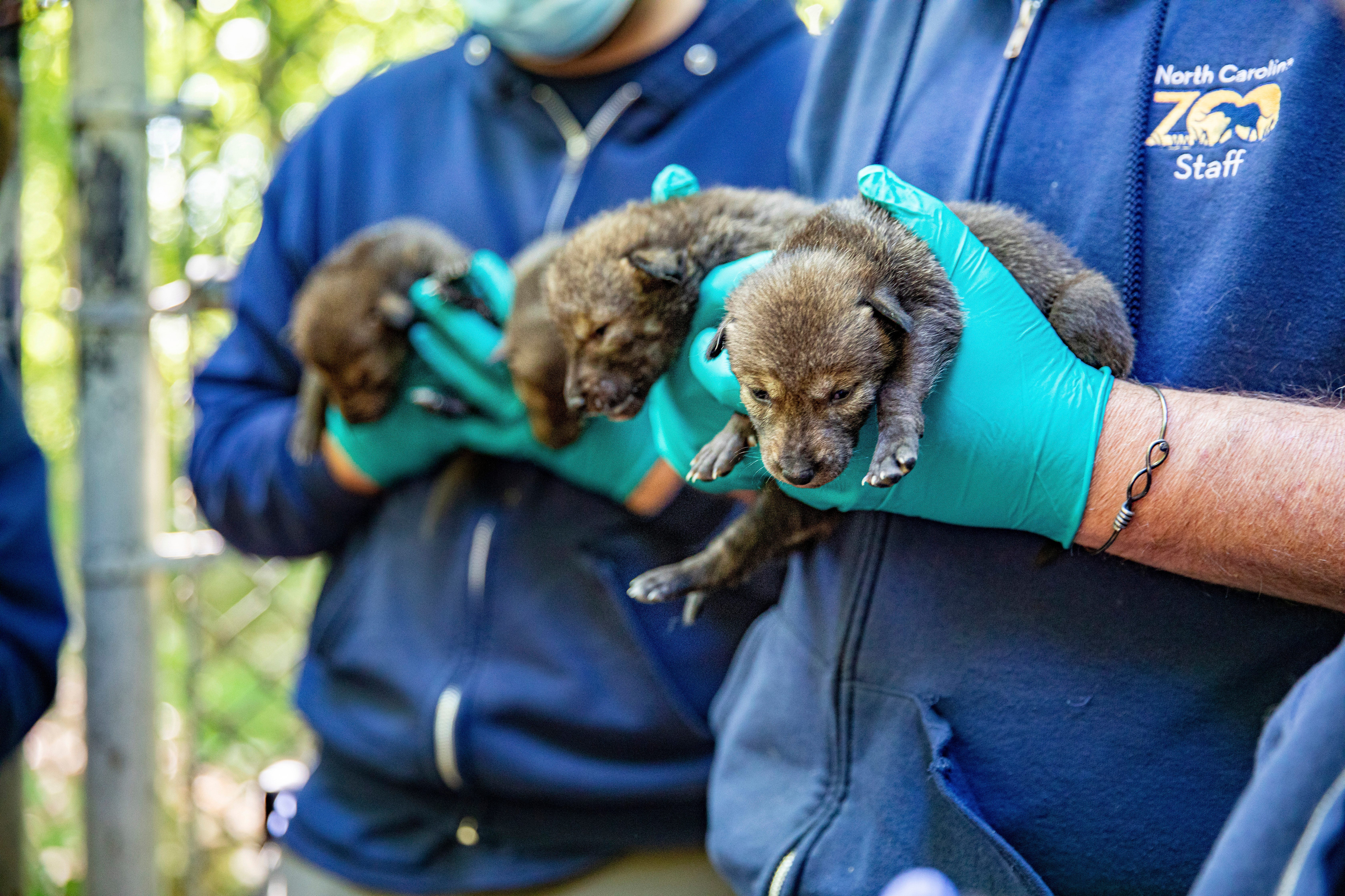 Endangered red wolves born at North Carolina Zoo, doing well 2