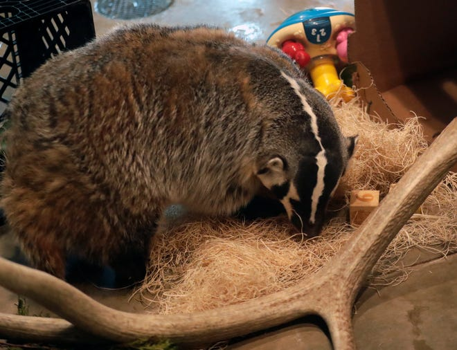 The NEW Zoo in Suamico is working with Ron Borkowicz and his Photo Fun Safaris app on a cross-promotion effort. Through the app, you are able to learn facts about zoo animals like this badger.