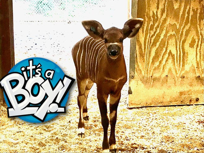 Massamba, a male Eastern Bongo, is a new baby addition to the Montgomery Zoo.