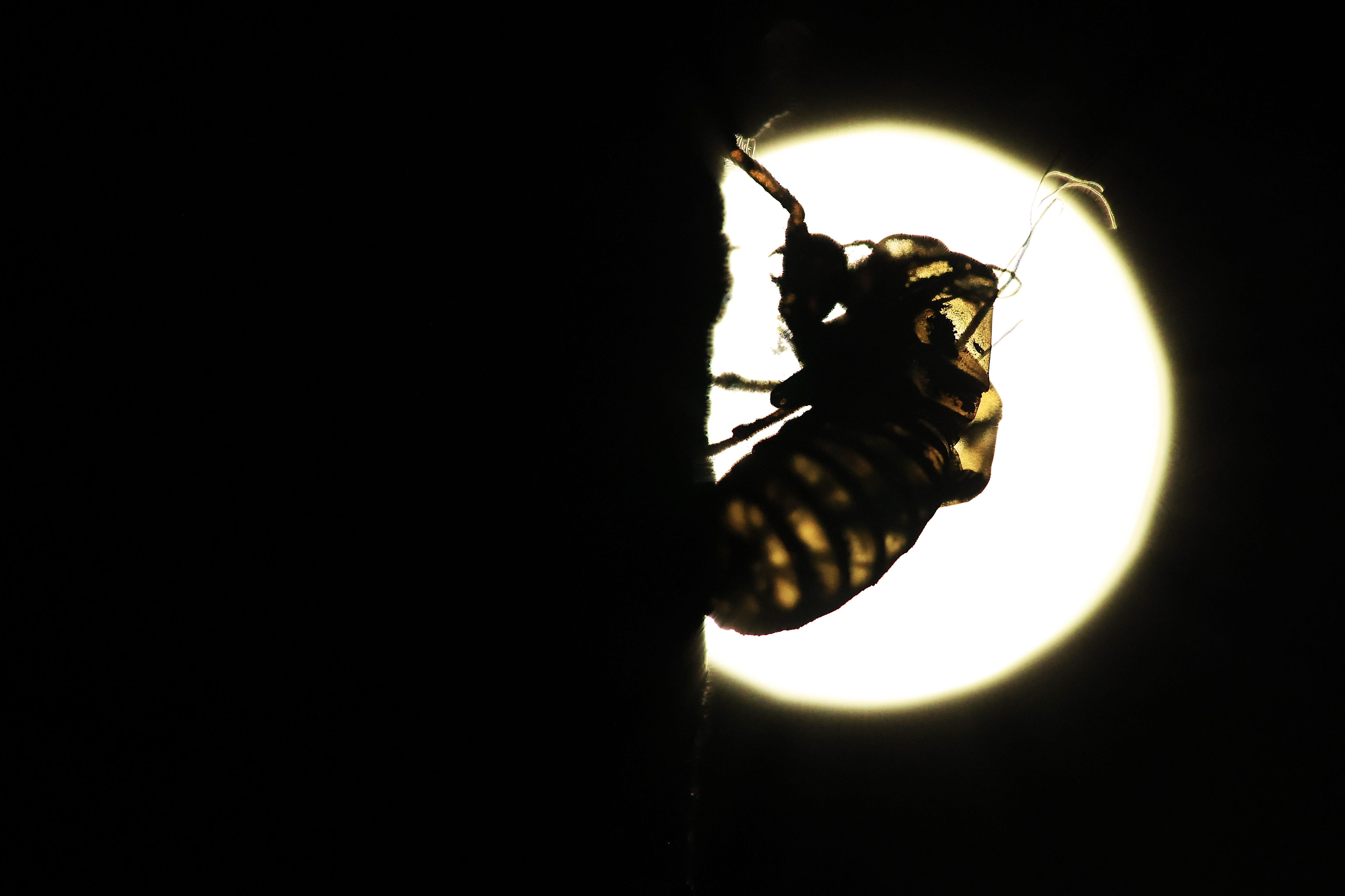 The empty shell of a periodical cicada nymph clings to a tree.
