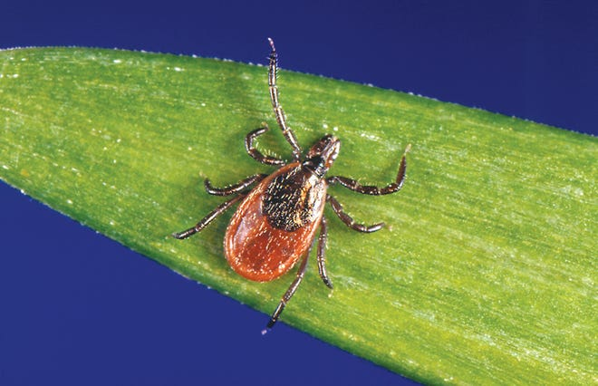A blacklegged tick, also known as a deer tick, rests on a plant.