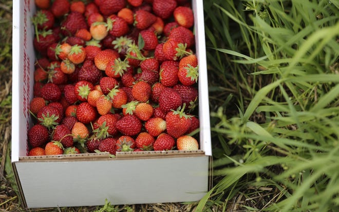 It's strawberry-picking time.