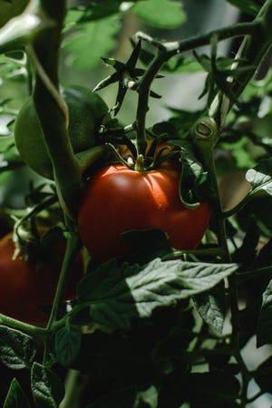 Tomato season is approaching.