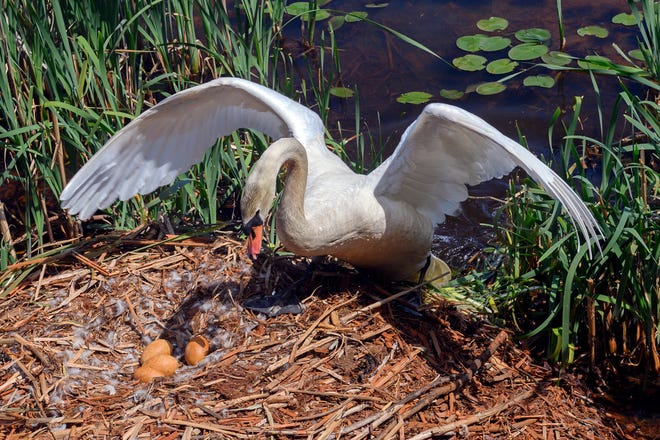A swan watches over his eggs and nest in Lakeville.