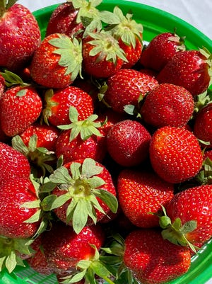 A bucket of freshly picked strawberries from Norris Farms sits on display May 14 at the Etowah County Extension Office table during Strawberry Day at the 5th Street Market in Gadsden.