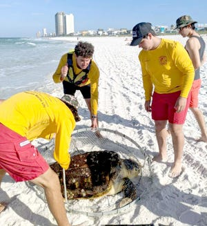Members of the Panama City Beach Fire Rescue's Beach Safety Division help rescue a loggerhead sea turtle that was hooked by a fisherman near the Russell-Fields Pier on Monday.