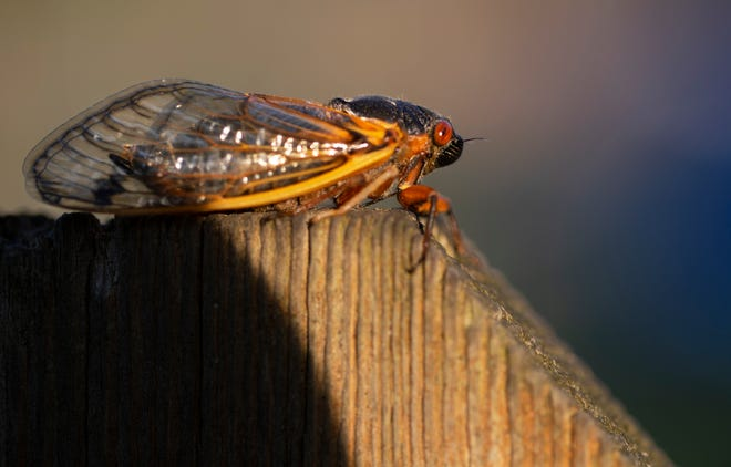 A Brood X cicada emerges on May 19, in Silverton.