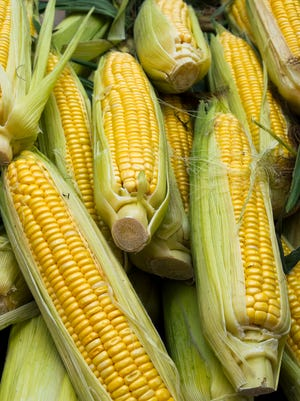 A pile of fresh sweet corn ears.