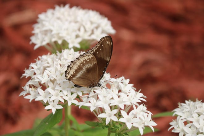This light brown butterfly enjoying the flowers is one of hundreds at The Butterfly House, an aviary at Perry's Cave Family Fun Center, 979 Catawba Ave., Put-in-Bay.