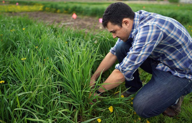 University of Minnesota research professor Jacob Jungers checked the growth of Kernza at a field at the university's St. Paul campus in 2019. (Brian Peterson/Minneapolis Star Tribune/TNS)