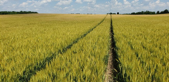 When added to a corn and soybean crop rotation, wheat can increase economic return, improve the soil, and help prevent runoff.