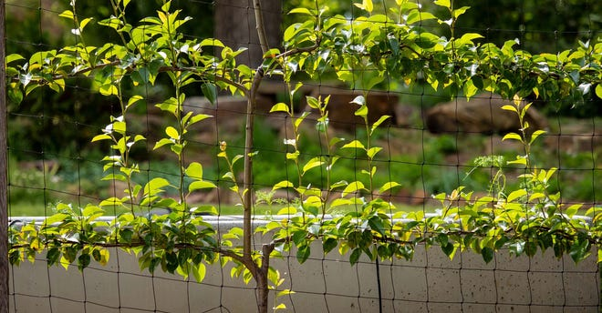 Vertical gardening is a great way to make the most of limited ground space. Some non-vine plants, such as this espalier tree, can be trained to grow along a vertical surface.