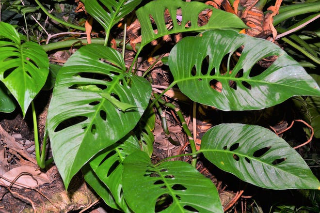 Monstera Adansonii is among the plants available at the pre-renovation Crystal Bridge Conservatory plant sale.