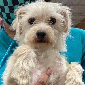 Barkley, about 18 months, is a Shih Tzu mix. He is a sweet boy who needs a calm, quiet home.   Meet him from 2-4 p.m. May 22 and 1-4 p.m.  May 23 at PetSmart in Pooler.  GARD: GA Animal Rescue and Defence pets are vaccinated, microchipped, spayed/neutered with 30-days free pet insurance. Pets/applications/info at gardonline.org, Gardkm@gmail.com or stop by appointment only at 100 Dichroic Dragon Drive, Pembroke.