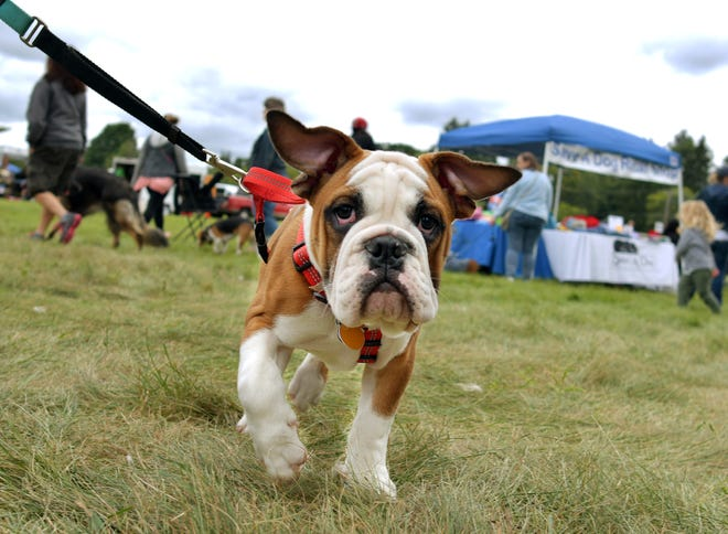 Meatball, an English Bulldog, attended the 20-year anniversary of the Pet Rock Fest in 2018.