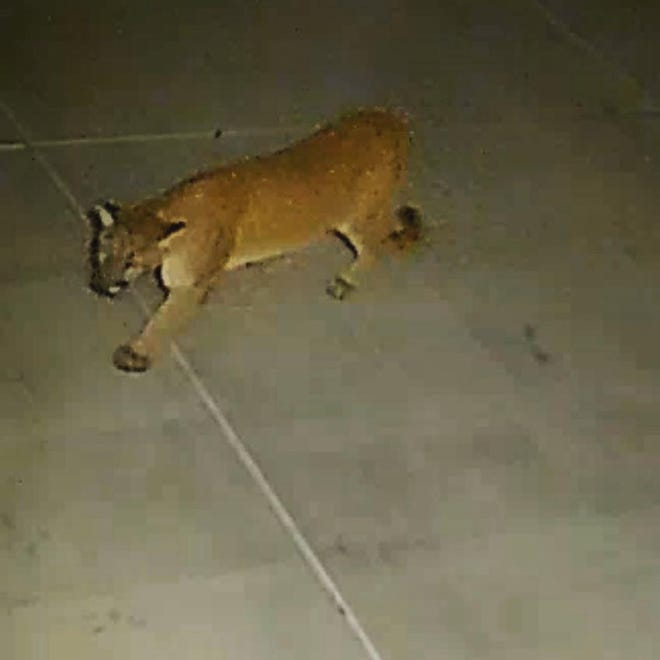 Security camera footage spotted a mountain lion roaming an Apple Valley neighborhood early Thursday morning, May 20, 2021.