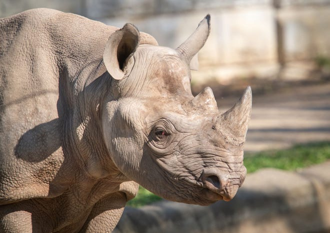 Nia, a near 3-year-old female black rhino, will be moving to The Living Desert in Palm Desert from the Cleveland Metroparks Zoo in Cleveland, Ohio. She is one of two black rhinos that will call The Living Desert home, in November 2021.