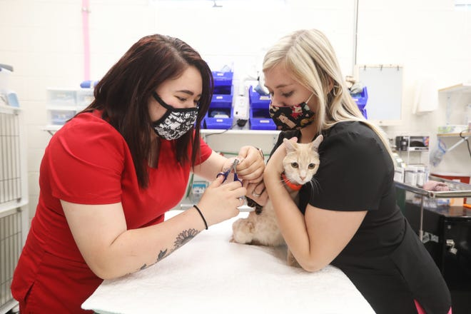 Alexis Morrison, left, of Zanesville, and Abigail Springer, of Maysville High School, trim Coconut the cat's nails at the Muskingum County Animal Shelter Society on Wednesday. The two are part of the Mid-East Career and Technology Center's vet assisting/animal care program.