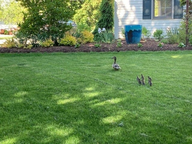 Several ducklings were rescued from a storm drain and reunited with their mother Thursday in Medina.