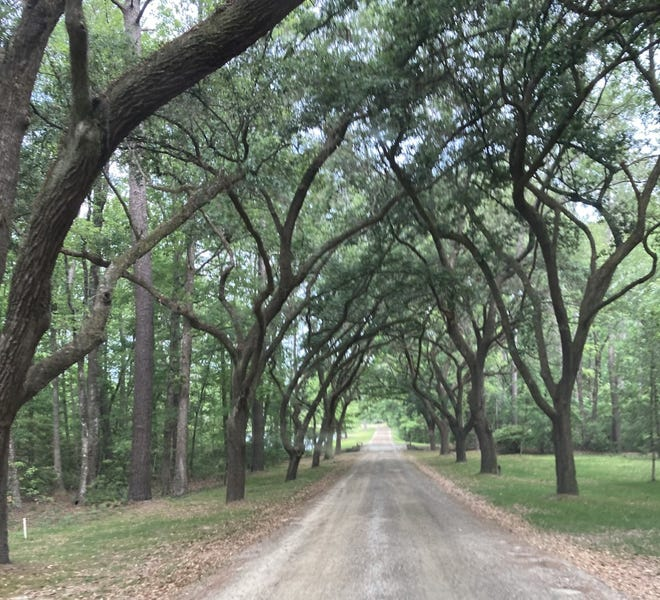 The main road entering Congaree Golf Club is lined with overhanging trees.