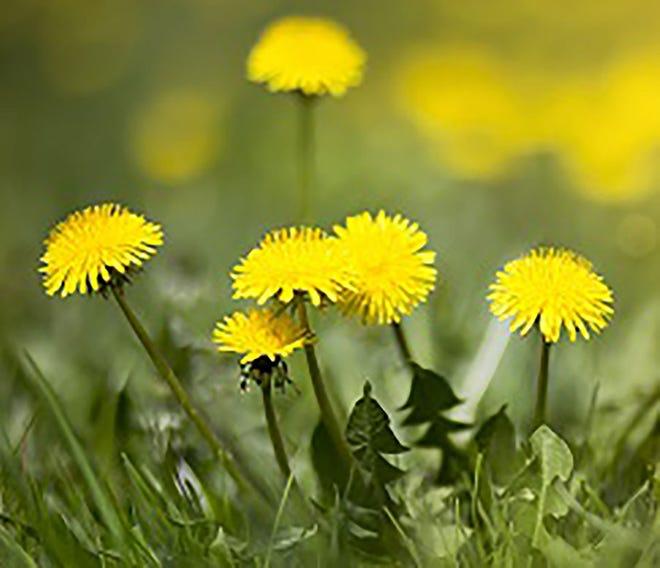 Dandelions in lawns.