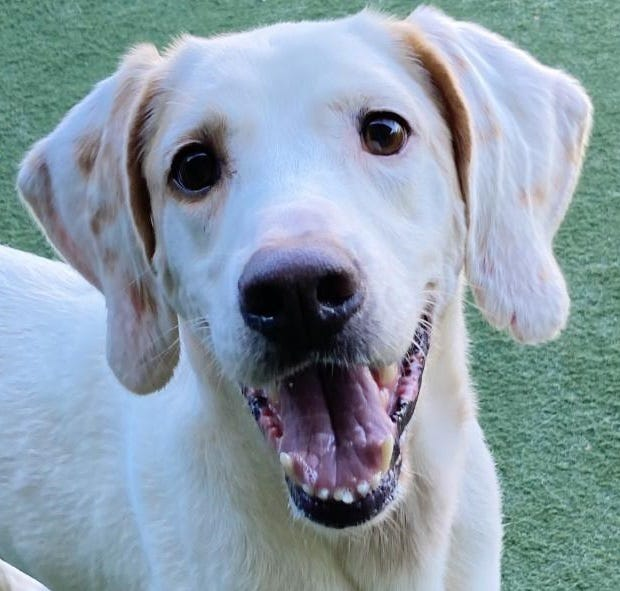 Name: Jackson  Gender: Male  Age: 5 years old  Weight: 48 pounds  Species: Dog  Breed: Coonhound, Treeing Walker- White/Brown  Orphaned Since: April 2021  Adoption Fee: $100     Woofers! My name is Jackson and I'm a curious, outgoing guy who loves people. I am looking for a family who will keep a close eye on me in the yard because I am super smart. So smart, in fact, that I have figured out how to climb and jump fences. The humans call me an escape artist, but I like to think of myself as an adventurer. I would consider having a doggie friend in my new home. If you're looking for a playful new best bud, contact SPCA Florida and let's meet!