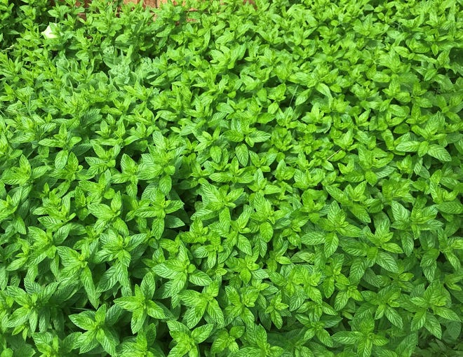 A wet spring has made for bountiful mint in Oklahoma City.